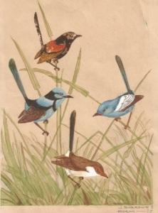 Blue Wrens, J Burrowes 1938